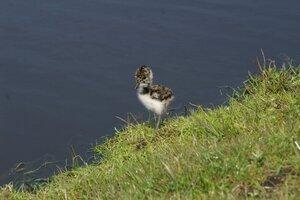 Nestsucces broedvogels van open boerenland neemt af