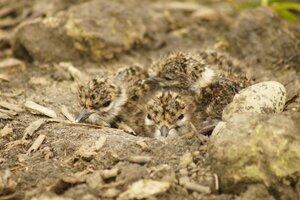 Oproep LandschappenNL: houdt bij het maaien de komende weken rekening met de weidevogels